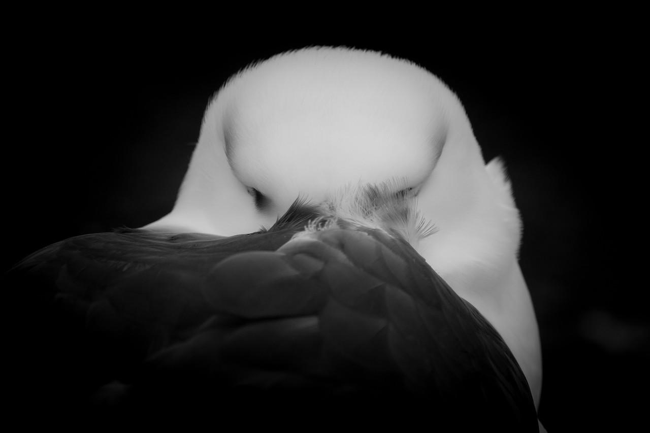 Black-browed albatross, Saunders Island, Falklands