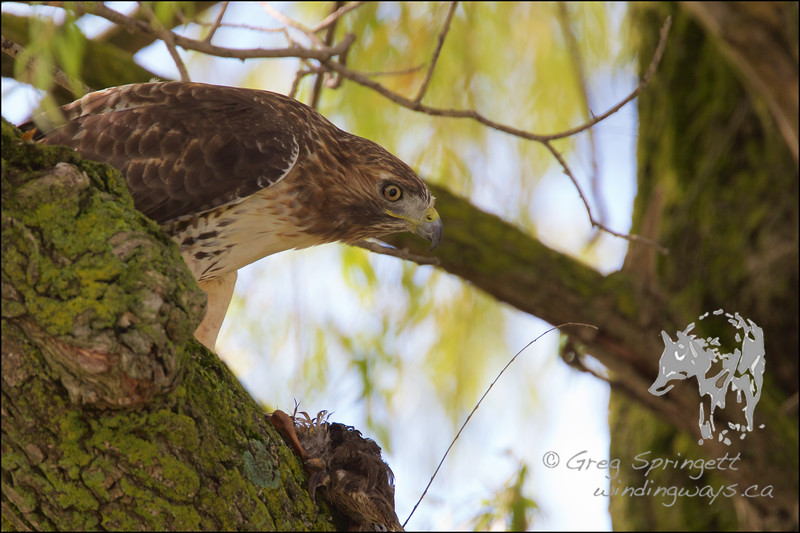 Red Tail guarding its Lunch