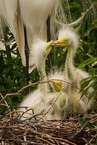 Great Egret, nesting
