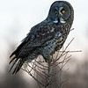 Great grey owl, Strix nebulosa, perched on larch tree near Westlock, Alberta, Canada.