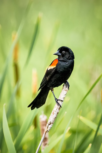 Red-Winged Blackbird Perching