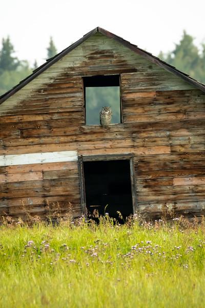 Great horned owl, Bubo virginianus, on a barn near Grande Prairie, Alberta, Canada.
