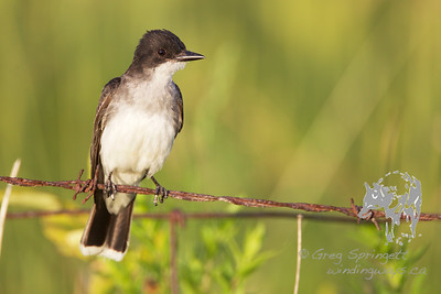 Kingbird Fly Catching