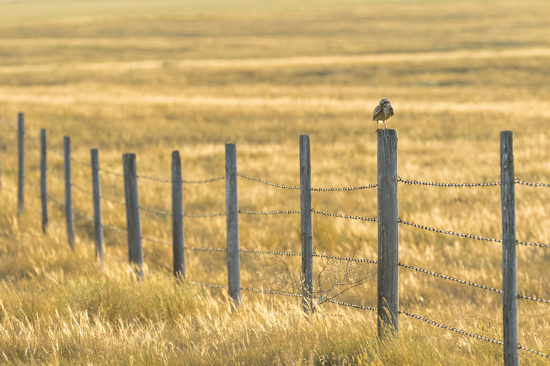 Burrowing owl, Athene cunicularia, perched on a fenceline near Medicine Hat, Alberta, Canada.