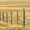 Burrowing owl, Athene cunicularia, perched on a fenceline near Medicine Hat, Alberta, Canada.
