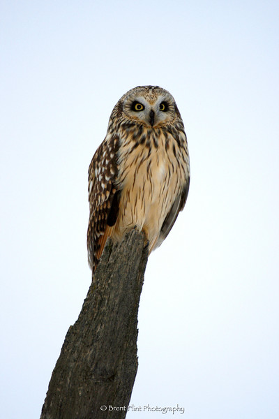 DF.372 - short-eared owl on fencepost, Lincoln County, WA.