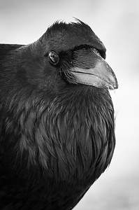 common_raven-9-224