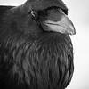 common_raven-9-6