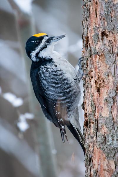 Black-backed woodpecker, Picoides arcticus, in Edmonton, Alberta, Canada.