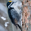 Black-backed woodpecker, Picoides arcticus, in Edmonton, Alberta, Canada.