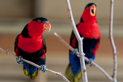 Black-Capped Lories Singing