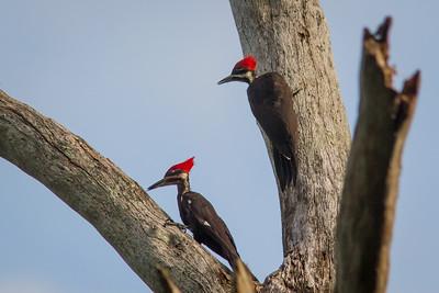 Pileated Woodpecker-7312
