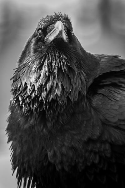 Common raven, Corvus corax, portrait in Jasper National Park, Alberta, Canada.