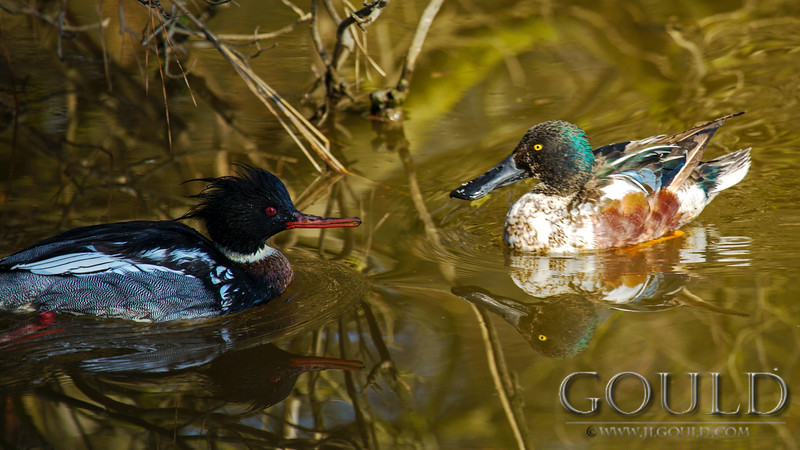 Merganser And Shoveler