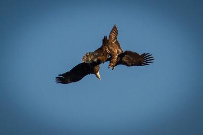 Bald Eagles 1403-2375