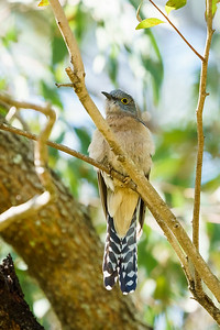The Fan Tailed Cuckoo
