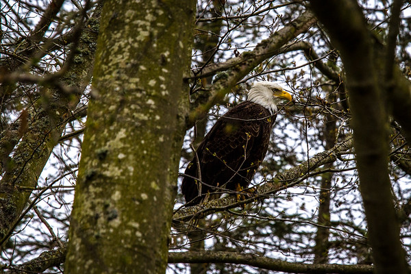 Bald Eagle ~ Olympic Peninsula, WA
