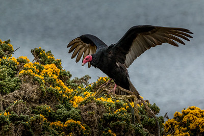 Turkey vulture, Carcass Island, Falklands