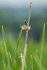 Marsh wren, Cistothorus palustris, singing from a cattail near Dawson Creek, British Columbia, Canada.