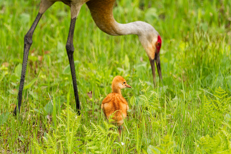 Sandhill Crane Chic and Mom