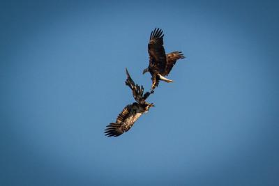 Bald Eagles 1403-2372