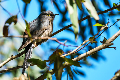 Fan Tailed Cuckoo