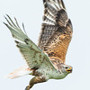 Ferruginous hawk, Buteo regalis, near Monarch, Alberta, Canada.