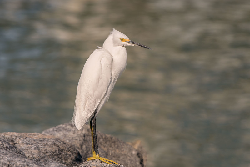 Snowy Egret on the Shore