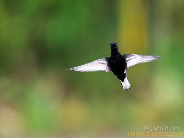 Black jacobin humming bird in flight