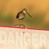 Wilson's snipe, Gallinago delicata, on a post in St. Albert, Alberta, Canada.
