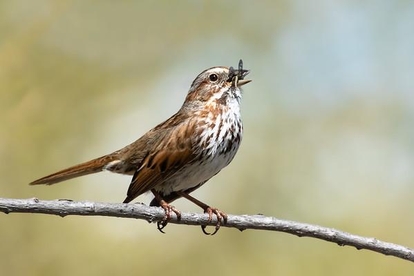 Song sparrow, Melospiza melodia, singing at Lee Lake, Alberta, Canada.