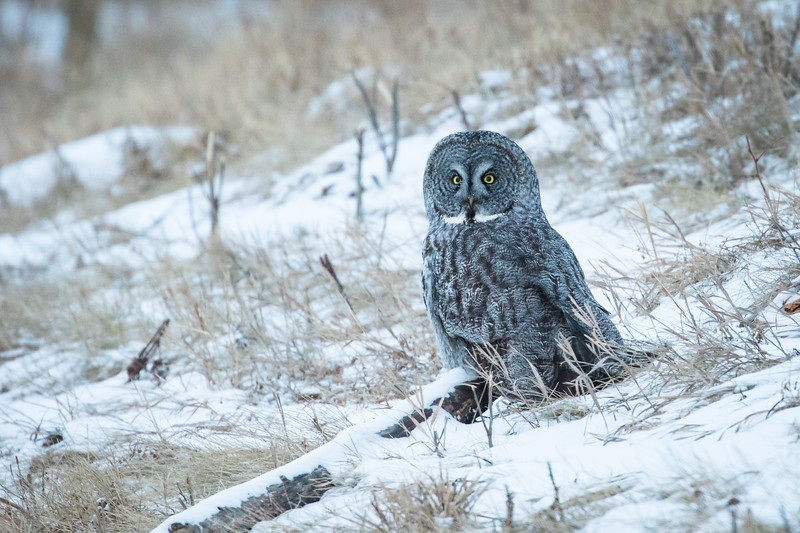 Great grey owl, Strix nebulosa, near Calahoo, Alberta, Canada.