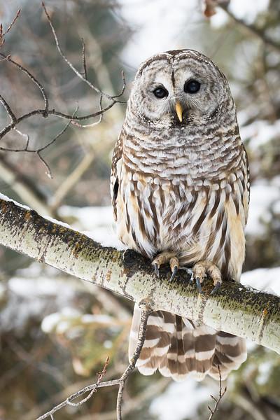 Captive Barred owl, Strix varia, perched near Lac La Biche, Alberta, Canada.