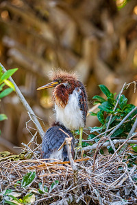 Tricolored Heron 0062