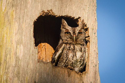 Screech Owl BRD1405-5756