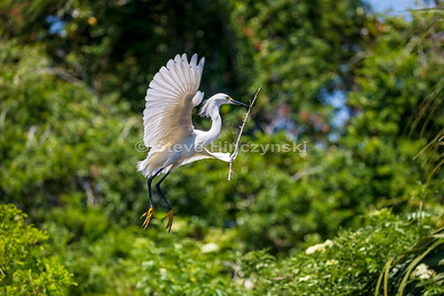 Snowy Egret 0093