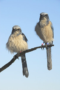 Mated pair of Florida Scrub-Jays perched and preening. Both birds are banded and part of the long-term demographic study at Archbold Biological Station.