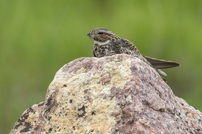 Common nighthawk, Chordeiles minor, resting on a rock near Medicine Hat, Alberta, Canada.