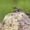 Common nighthawk, Chordeiles minor, resting on a rock near Medicine Hat, Alberta, Canada.