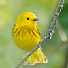 Yellow warbler, Setophaga petechia, near Bear Canyon, Alberta, Canada. near Bear Canyon, Alberta, Canada.