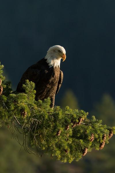 Bald eagle, Haliaeetus leucocephalis, overlooking Howe Sound, British Columbia, Canada.