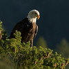 Bald eagle, Haliaeetus leucocephalis, overlooking Howe Sound, British Columbia, Canada.