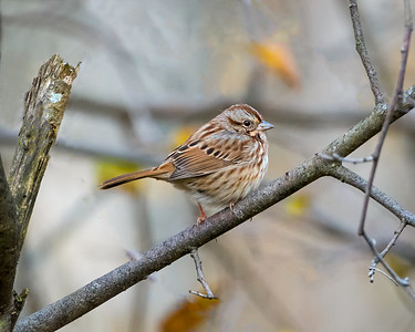 Song Sparrow Puffed Up
