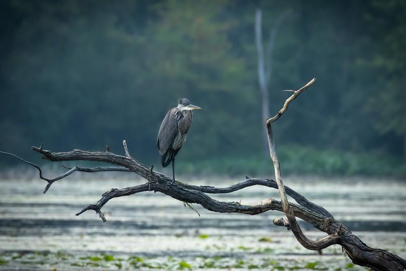 Great blue heron, Ardea herodias, perched at Mud Lake, Ontario, Canada.