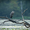 Great blue heron, Ardea herodias, perched at Mud Lake, Ontario, Canada.