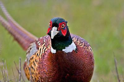 pheasant6476