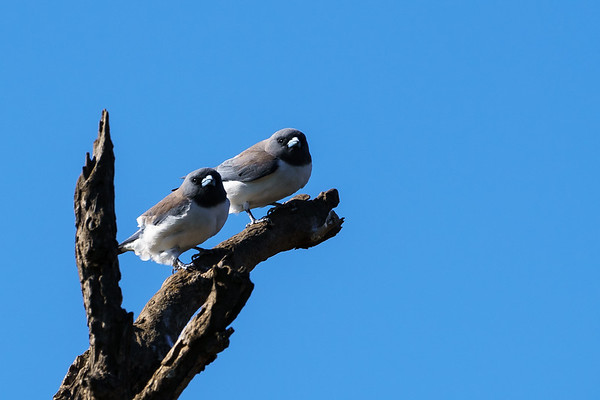 White Breasted Woodswallows