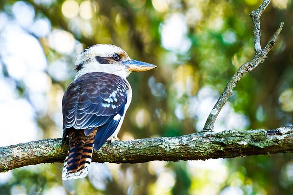 Kookaburra Sitting