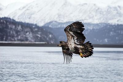 Bald Eagle 20200317 0462
