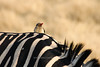 A stately oxpecker is perched on the shoulder of a zebra in the late afternoon sun.  Moremi Game Reserve, Botswana